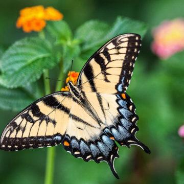 2018 – ein Schmetterlingsjahr?