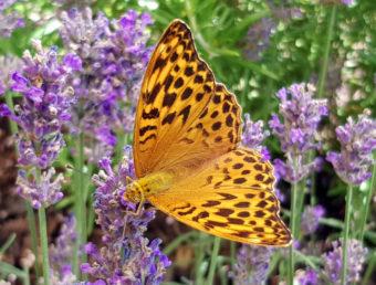 Zahlreiche Schmetterlingsarten im Kraichgau
